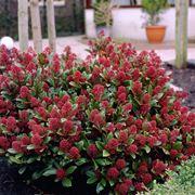 skimmia japonica rubella 0368