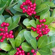 Skimmia skimmia japonica alberi caratteristiche for Skimmia pianta