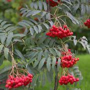Bacche del sorbo uccellatore Fonte: http://www.nortplantas.com