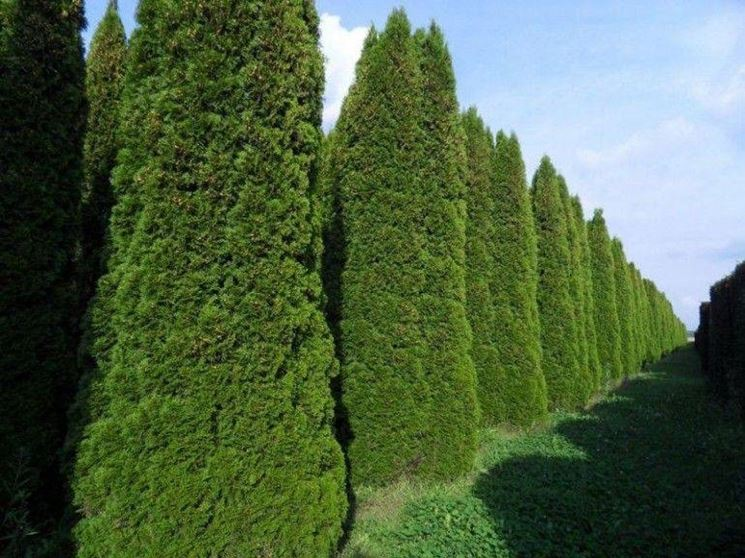 Coltivazioni di Thuja occidentalis