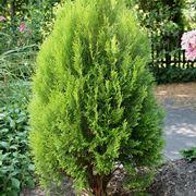 pianta di thuya occidentalis