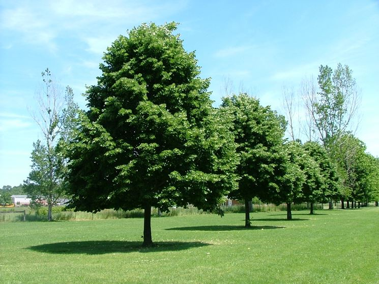Tiglio tilia alberi pianta di tiglio - Foto di alberi da giardino ...