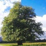 albero tiglio