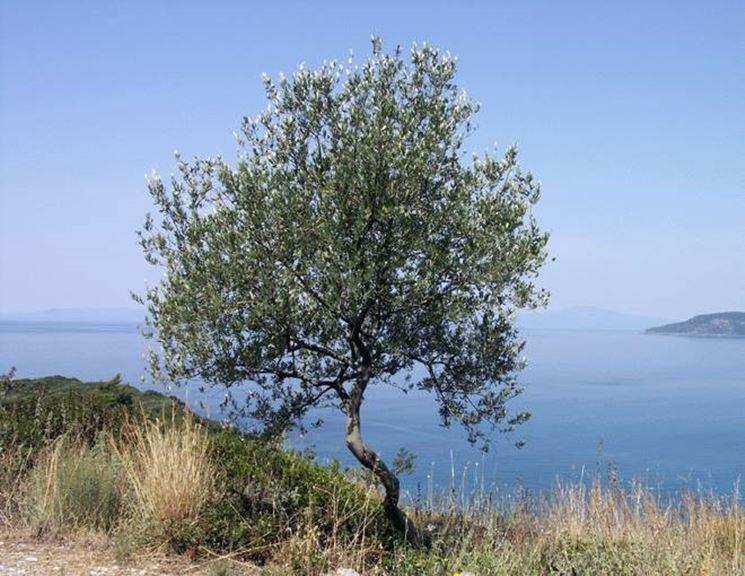 Ulivo o olivo alberi ulivo o olivo - Alberi da giardino piccoli ...