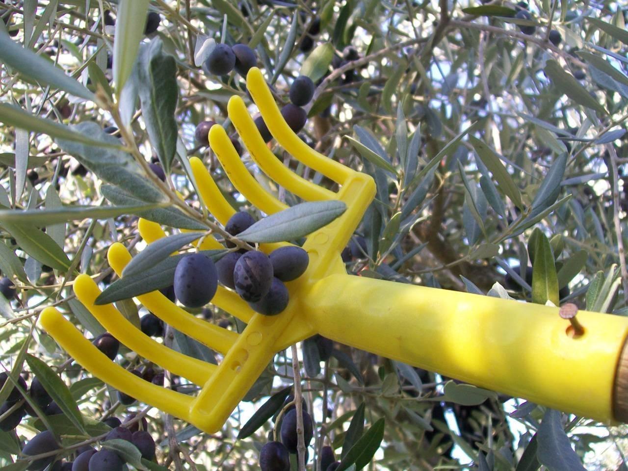 Ulivo o olivo alberi ulivo o olivo for Raccolta olive periodo