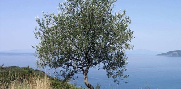 <h6>Ulivo o olivo</h6>Pianta mediterranea per eccellenza, l�olivo o ulivo � uno degli arbusti pi� apprezzati dal popolo italiano! Impara a conoscerlo e a coltivarlo!