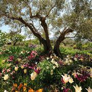 ulivo o olivo