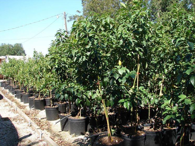 vendita alberi alberi alberi vendita