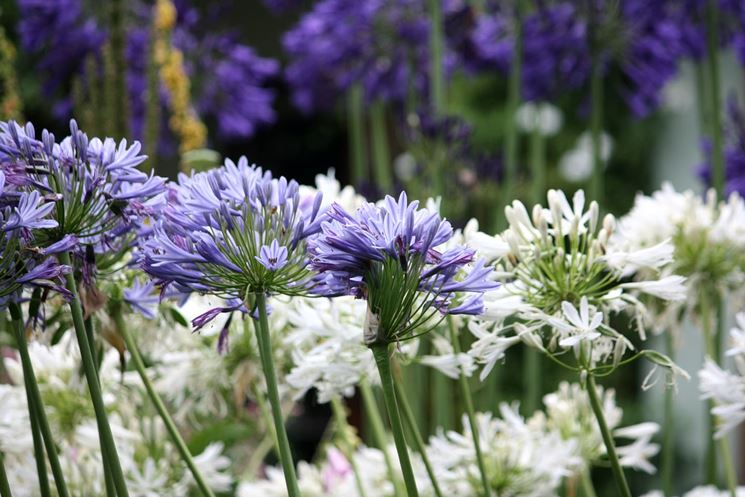 Agapanthus Purple Claude