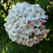 fiori a palla