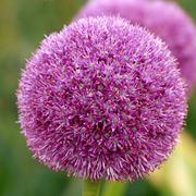 fiore dell aglio