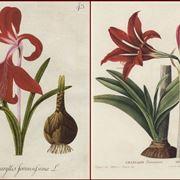 Disegno botanico di due variet� di amarillide