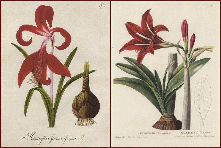 Disegno botanico di due varietà di amarillide