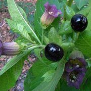 pianta belladonna
