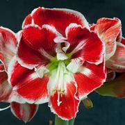 Amaryllis rosso con bordi bianchi