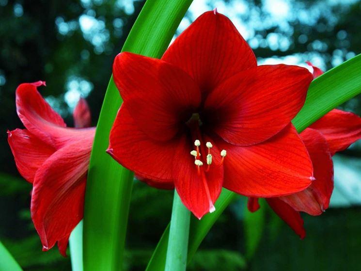 Amaryllis rosso porpora