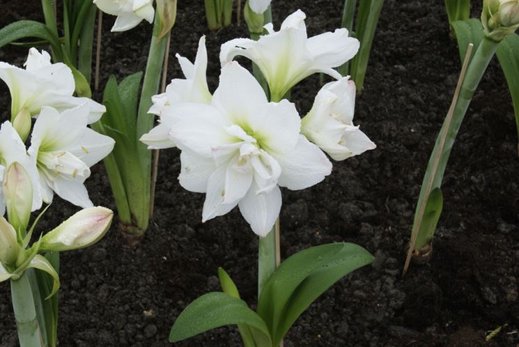Amaryllis bianchi