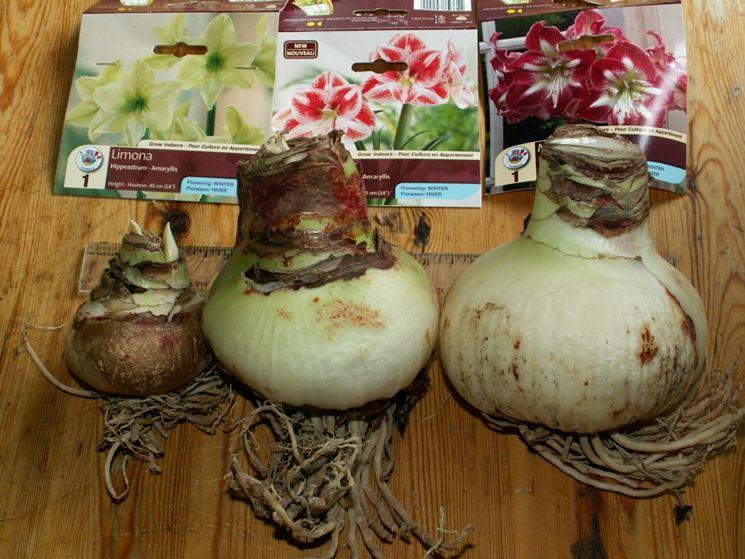 Bulbi dell'amaryllis