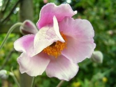 anemone hupehensis septembercharm