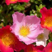 anemoni fiori