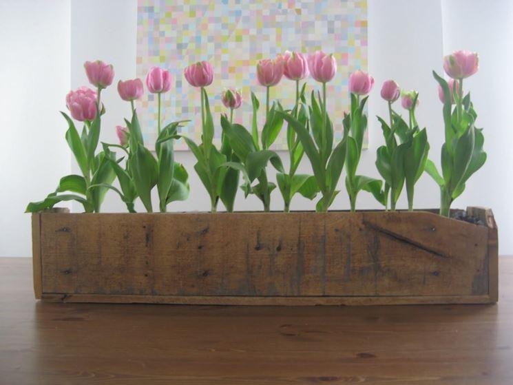 Tulipano in fioriera