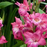 Fiori dei bulbi di Gladiolo