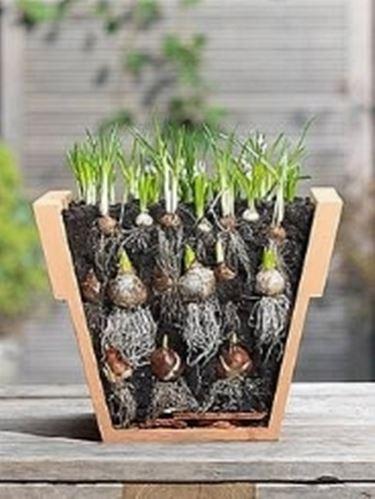 Bulbi in vaso bulbi for Piante da bulbo