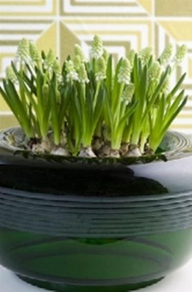 Bulbi in vaso2