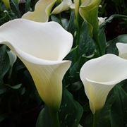 fiori calla