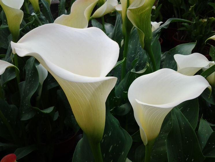 Calla come coltivare bulbi coltivare la calla for Calla pianta