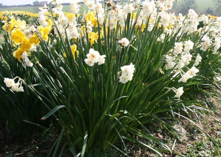Una pianta di narciso