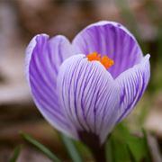 croco fiore