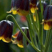 Fiori di Fritillaria michailovskyi