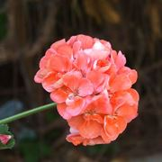Bellissimo fiore di Geranio rosa
