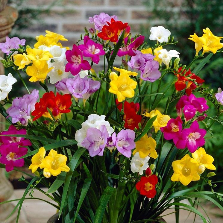Freesia Earlyjune
