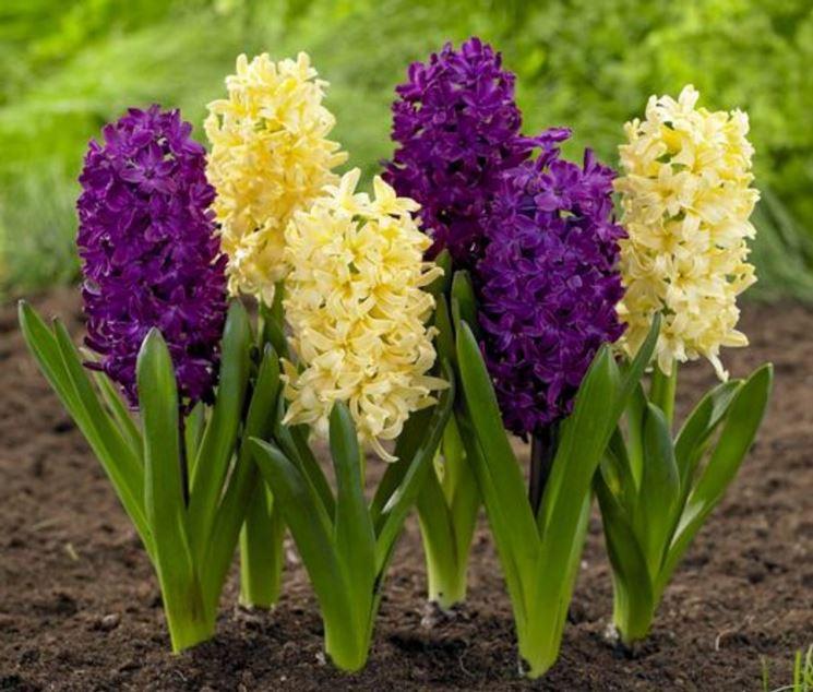 Giacinti bulbi bulbi i giacinti - Fiori da giardino autunnali ...