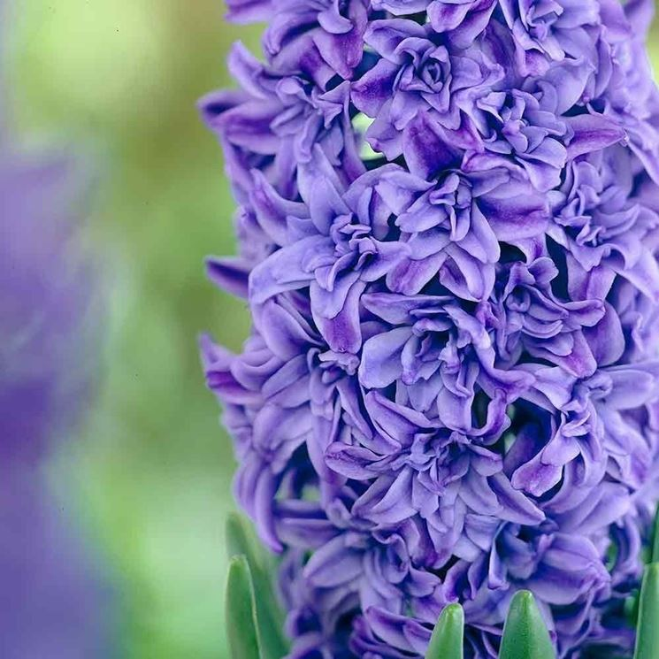 giacinto azzurro