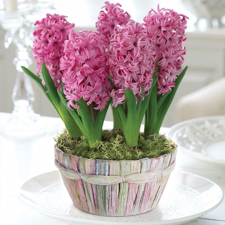 vaso di giacinto