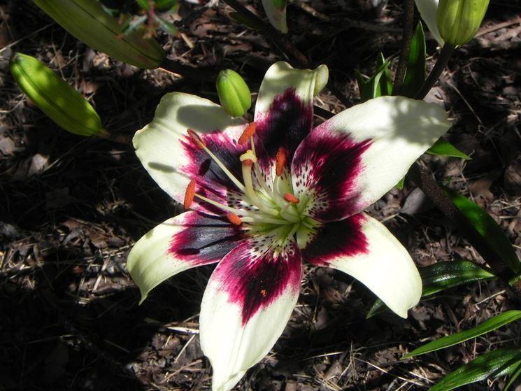 il fiore di giglio