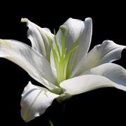 fiore giglio