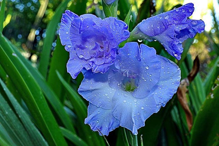 gladiolus blu
