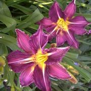 hemerocallis isolde