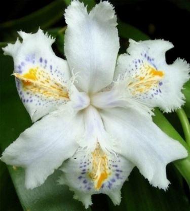 iris fiorito
