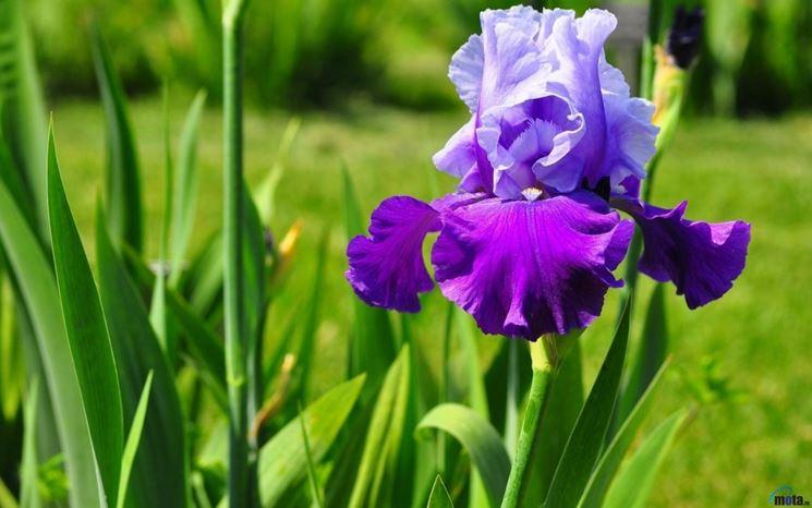 iris viola