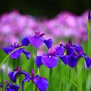 iris frutto