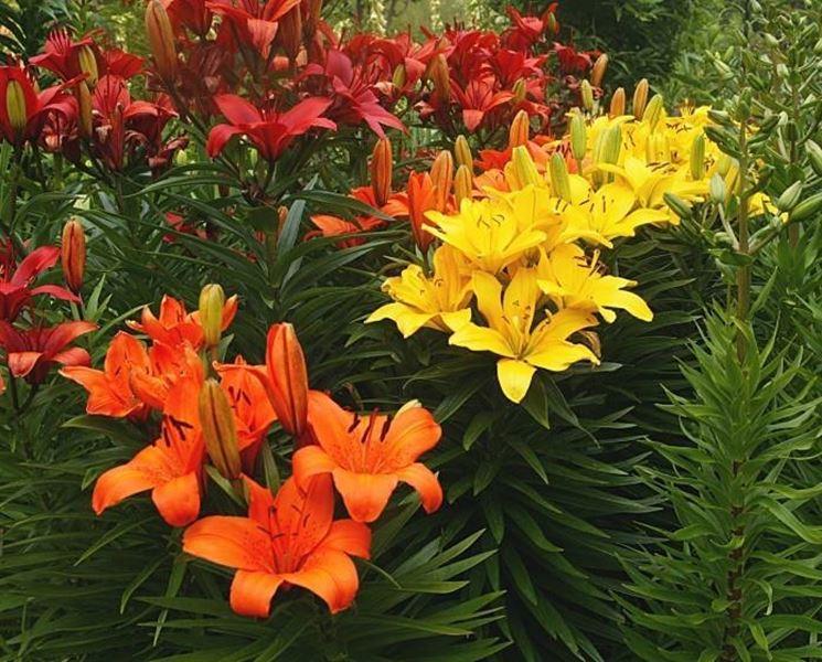 Lilium bulbi caratteristiche del lilium for Lilium in vaso