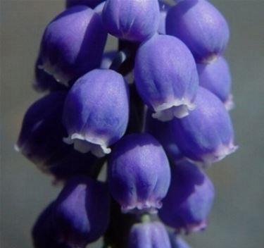 muscari blu