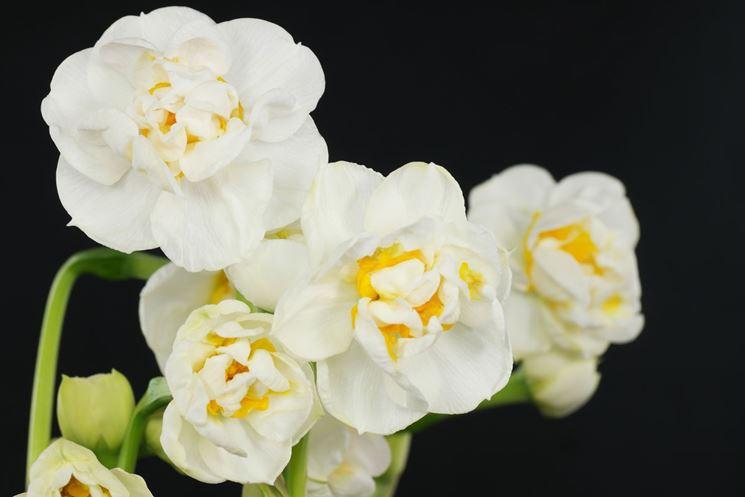 narcissus a fiore doppio