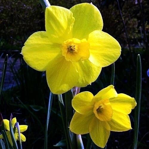 Narciso narcissus bulbi caratteristiche del narciso for Narciso giallo