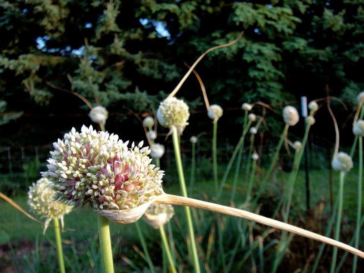 Piantare aglio bulbi piantare aglio nel giardino for Piantare aglio